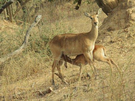 Antelope, Calf, Young, Feeding, Female, Benin