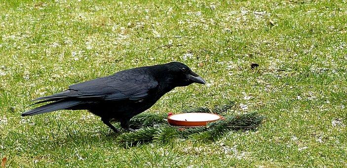Bird, Crow, Corvidae, Garden, Foraging