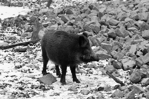Wild, Boar, Animal, Wild Boar, Nature, Forest