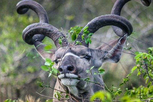 Kudu, Buck, Kruger, Reserve