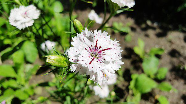 Dianthus, Carnation, Sweet William, Dianthus White