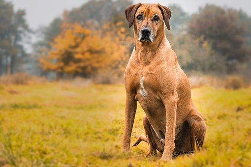 Dog, Rhodesian Ridgeback, Animal, Pet