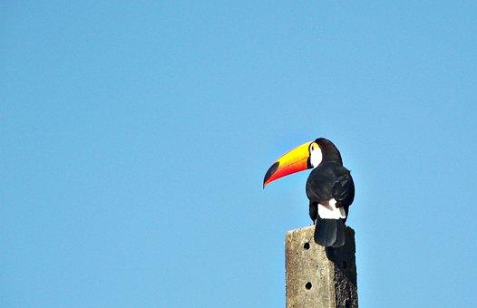 Felipe Bueno, Tucano, Bird, Fauna, Brazil, Large Spout