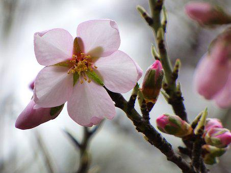Flower, Almond Tree, Florir, Sprout, February
