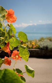 Cress, Spice, Nasturtium, Nature, Nutritious, Flower