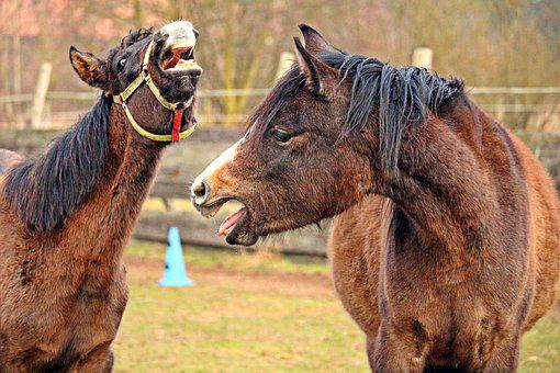 Horse, Thoroughbred Arabian, Brown Mold, Foal