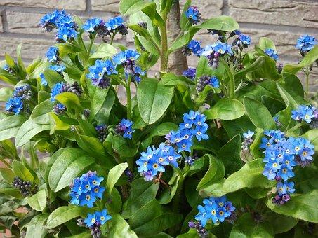 Blue, Forget Me Not, Flower, Plant, Spring, Bloom