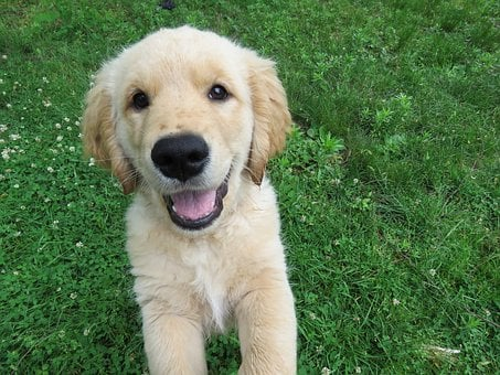 Golden Retriever, Puppy, Happy, Jumping, Play, Playful