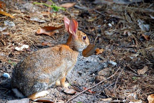 Wild Rabbit, Rabbit, Animal, Nature, Cute, Bunny, Hare