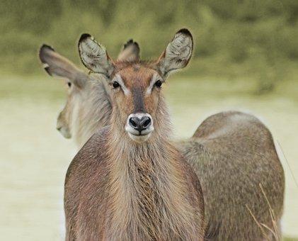 Waterbuck, Kruger, Wildlife, Park, Mpumalanga
