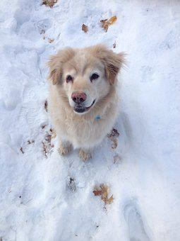Chow Chow, Golden Retriever, Mix, Mixed Breed