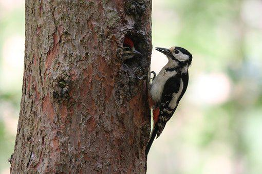 Great Spotted Woodpecker, Birds, Nature, Feeding