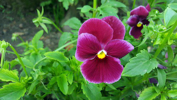 Pansy, Pansy Flower, Viola Tricolor, Red Pansy, Pansies