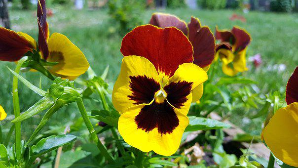 Pansy, Pansy Flower, Viola Tricolor, Yellow Pansy