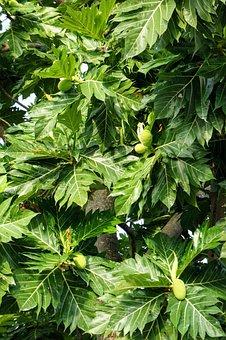Papaya, Papaya Tree, Tree, Fruits, Unripe Papaya