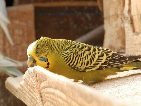 Bird, Parakeet, Parakeet Corrugated, Animals, Wood