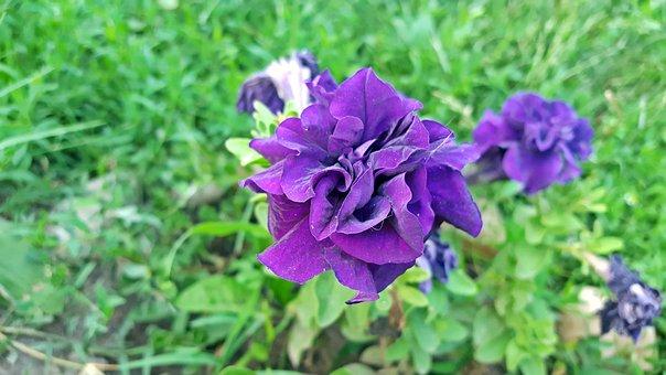 Petunia, Petunia Flower, Purple Petunias