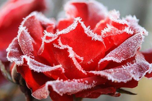 Rose, Hoary, Wintery, Flower, Rime, Flowers, Frozen