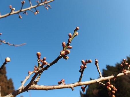 Plum, Blue Sky, Spring, Bud, Blue, Branch, Flowers