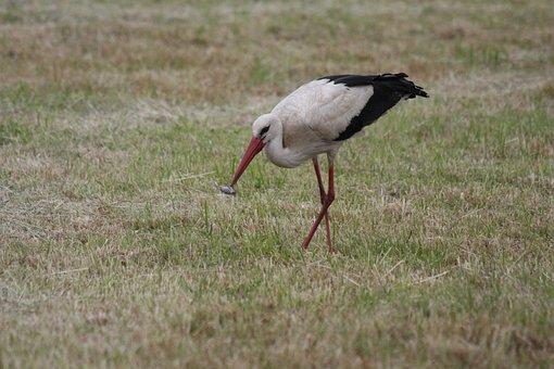 Stork, White Stork, Rattle Stork, Storks, Adebar, Bill