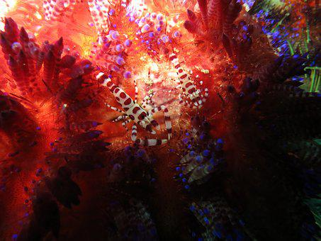 Coleman's Shrimp, Shrimp, Commensal Shrimp, Symbiosis