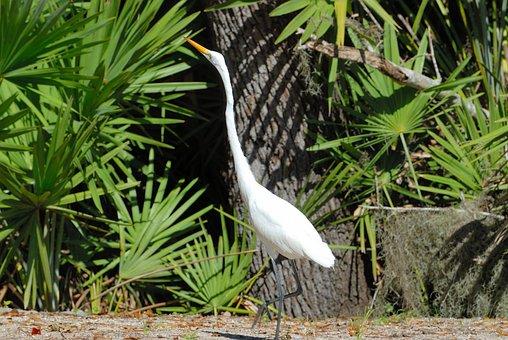 Great White Heron, Tropical Bird, Wading, Walking