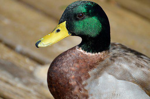 Mallard Duck, Closeup, Wildlife, Lake, Water, Duck