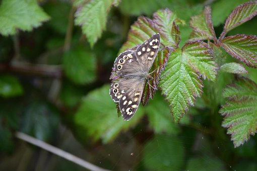 Butterfly, Speckled Wood, Speckled, Wildlife, Insect