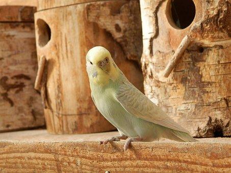 Parakeet, Parakeet Corrugated, Wood, Animals, Bird