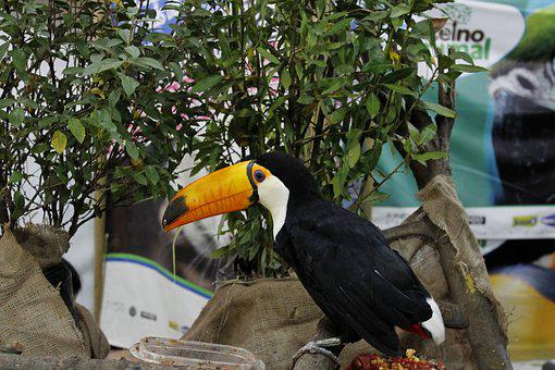 Toucan, Animal, Bird, Nature, Wild, Jungle, Wildlife