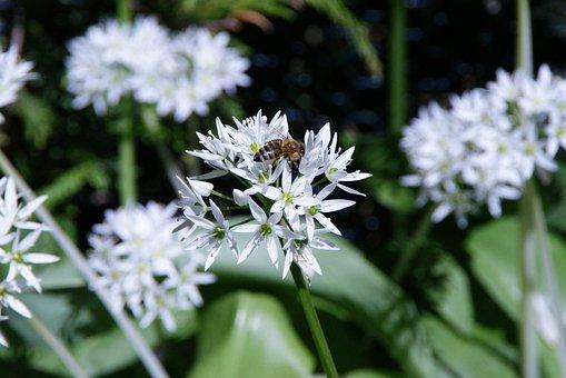 Bärlauch Bloom, Bear's Garlic, Bee, Spring, Wild Flower