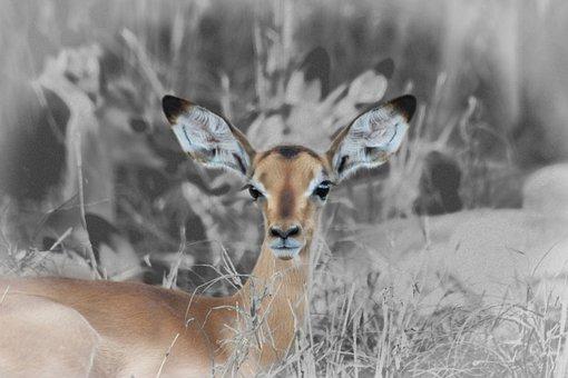 Fawn, Buck, Baby Impala, Young Buck