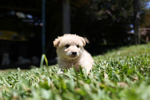 Dog, Puppy, Cute, White, Canine, Animal, Breed