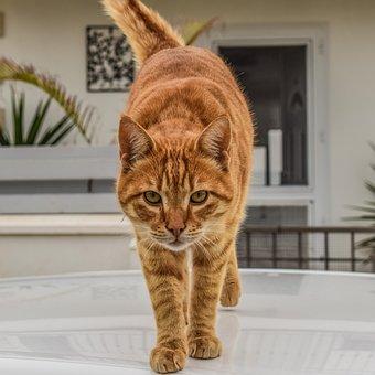 Cat, Domestic, Animal, Pet, Cute, Kitten, Eyes, Looking
