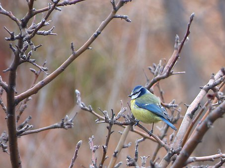 Bird, Branches, Tit, Mallarenga, Cyanistes Caeruleus