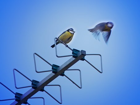 Bird, Antenna, Tit, Mallarenga, Cyanistes Caeruleus