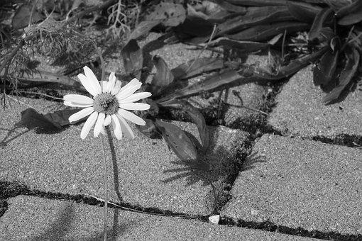 Daisy, Flower On A Sidewalk, Black And White