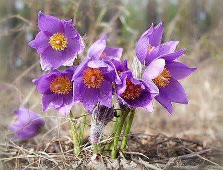 Phlomis, Purple Flower, Summer, Nature, Forest
