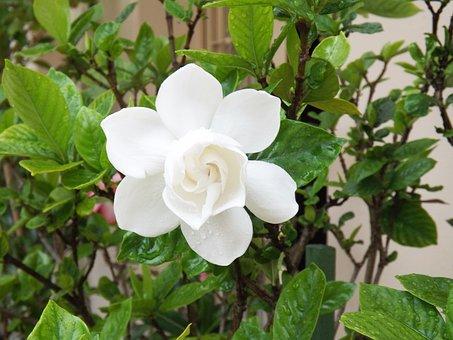 Flower, Gardenia, White, Dew
