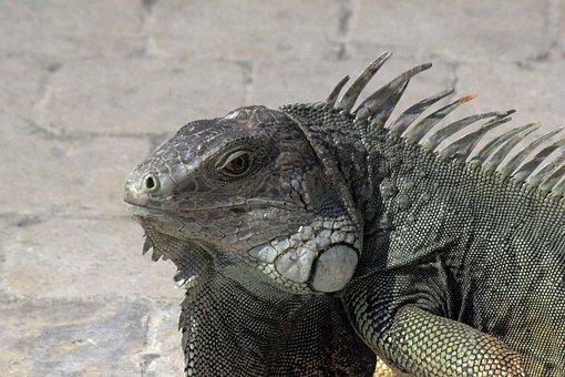 Iguana, Nature, Animal, Reptile, Green, Lizard, Fauna