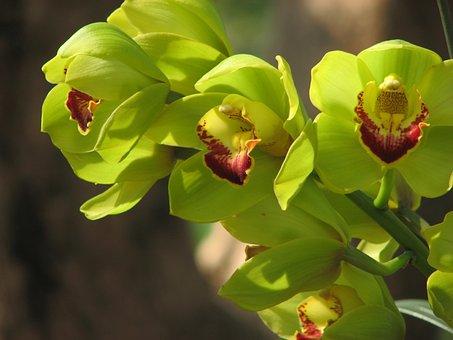 Orchid, Flowers, Green, Wanda Flowers