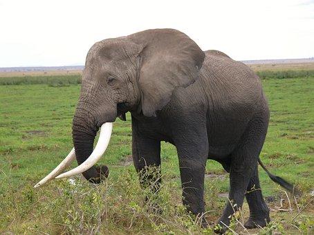 Amboseli National Park, Kenya, Elephant, Animal
