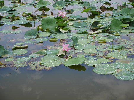 Lotus, Pink, Plant, Flowers, Pond