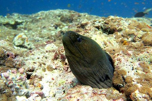 Moray, Eel, Fish, Ocean, Underwater, Marine, Aquatic
