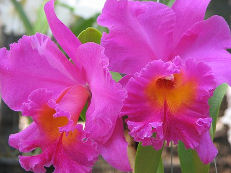 Orchid, Flowers, Pink, Flowered Cattleya