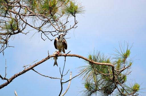 Osprey In The Wild, Bird, Osprey, Wild, Wildlife