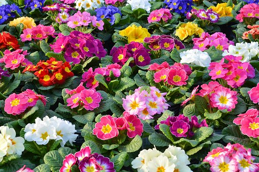Primroses, Spring Primroses, Flowers, Plant, Colorful