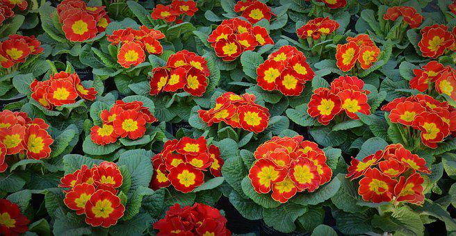 Primroses, Spring Primroses, Flowers, Plant, Red