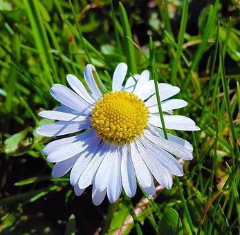 Daisy, Grass, Nature, Leisure, Sun, Summer, Meadow