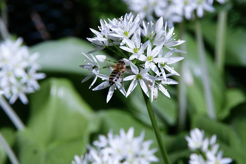 Bärlauch Bloom, Bear's Garlic, Bee, Wild Flower, Spring